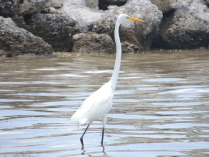 Maybe an egret?