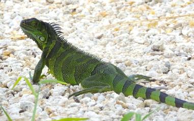 Emerald Iguana