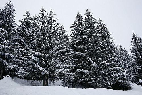 Land of Fir Trees,