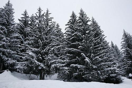Land of Fir Trees,