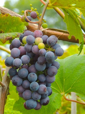 Great looking grapes!