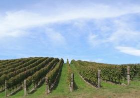 Vineyard, aka my Natural Habitat