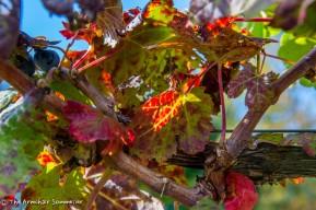 Fall grape foliage